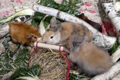 Animalia lapins