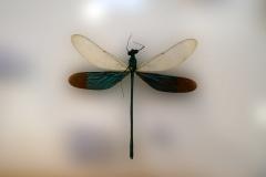 Animalia libellule