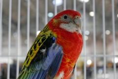 Animalia perroquet