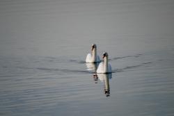 cygnes Lagune de Berre