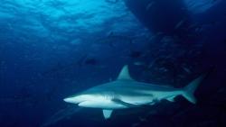 requin Polynésie française