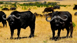 buffle Tanzanie