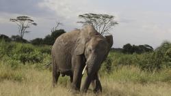 elephant Tanzanie