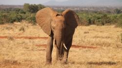 elephant afrique Tanzanie