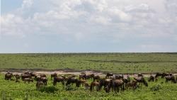 gnou Tanzanie