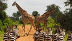zebre et girafes Tanzanie