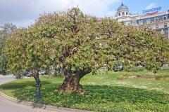 Barca tree