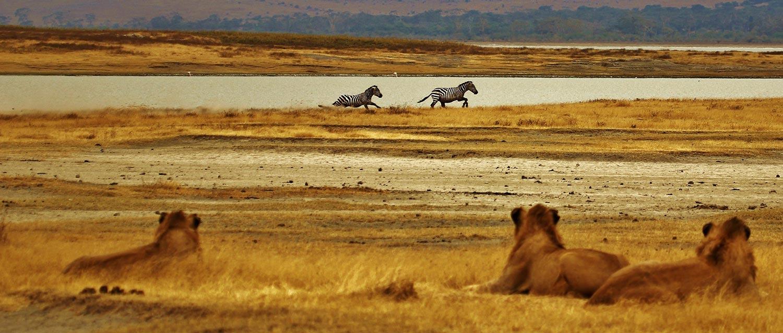 Zèbre et lion de Tanzanie